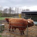 Hairy Scottish cows!