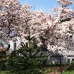 walking around Bramsche - such a pretty tree!