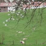 walking along the cherry blossom trail - sheep!