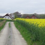 Driving through rapeseed fields - they are beautiful this time of year!