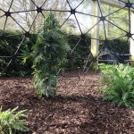 Blarney Castle - Poison Garden - yep, that is a huge pot plant in the middle of the cage...