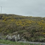 Co. Cork - many of the hill sides were covered in this one type of bush that had pretty yellow flowers on it this time of year.