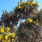 more of the bushes with the gorgeous yellow flowers