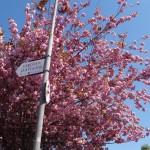 Killarney cherry blossoms