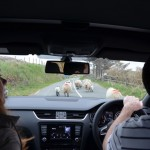 Co. Cork - look out for the sheep!