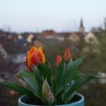 our Keukenhof tulip is blooming!
