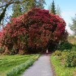 Blarney Castle gardens -I look tiny next to that huge tree/bush. It was beautiful!