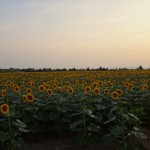 sunflowers everywhere :)
