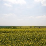 I can't get enough of the rapeseed fields in the spring!