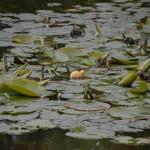 Landesgartenschau - little duck walking on the lily pads